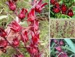 Địa điểm nhanh chuyên sỉ, lẻ hoa Atiso đỏ tươi