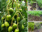 Địa điểm nhanh chia sẽ nơi mua cây giống cóc thái ở Hà Nội