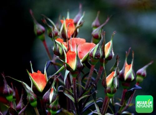 Làng hoa Mê Linh - Vĩnh Phúc