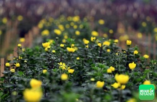 Cúc trồng tại Làng hoa Mê Linh - Vĩnh Phúc