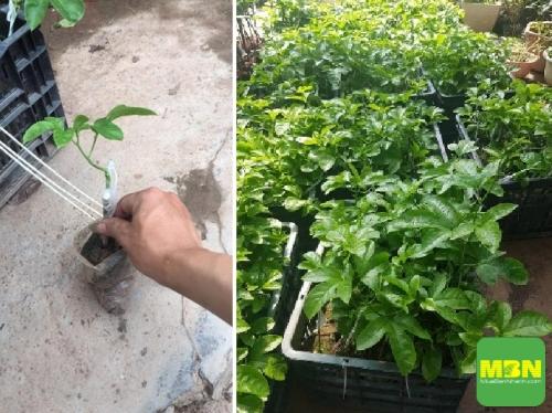 Địa điểm mua cây giống chanh dây Đài Loan F1 tại Hà Nội, 440, Mãnh Nhi, Địa Điểm Nhanh, 07/07/2018 09:19:26