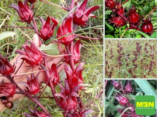 Địa điểm nhanh chuyên sỉ, lẻ hoa Atiso đỏ tươi, 512, Hải Lý, Địa Điểm Nhanh, 24/05/2021 10:43:40
