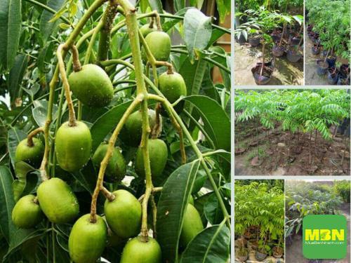 Địa điểm nhanh chia sẽ nơi mua cây giống cóc thái ở Hà Nội, 518, Hải Lý, Địa Điểm Nhanh, 28/09/2021 15:11:36