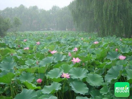 Du lịch miền sông nước khó quên bởi những địa điểm du lịch nổi tiếng tại Đồng Tháp, 185, Phương Mai, Địa Điểm Nhanh, 30/08/2016 14:04:10